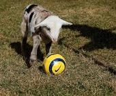 Fonte della foto: Ragù di capra